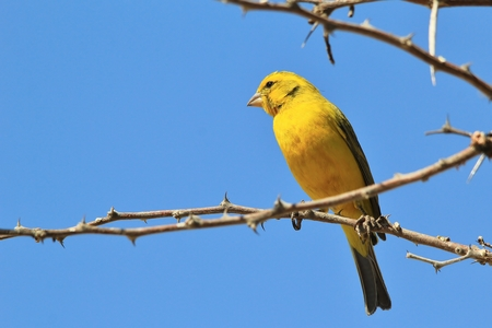 wild canary: Yellow Canary - African Wild Bird Background - Yellow Gold Stock Photo