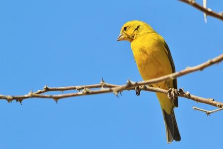 wild canary: Yellow Canary - African Wild Bird Background - Yellow Beauty Stock Photo