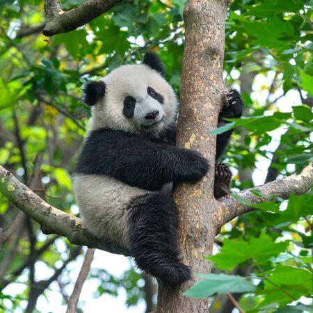 Giant panda bear in tree Foto de archivo