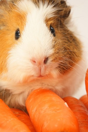 Guinea pig eating some carrots photo