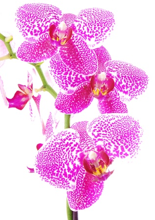 Branch of violet orchid,isolated photo
