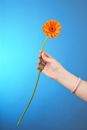 Yellow gerbera in woman hand  photo