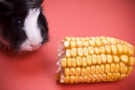 Little guinea pig eating corn photo