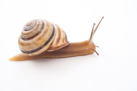 slowly: little snail isolated on white background