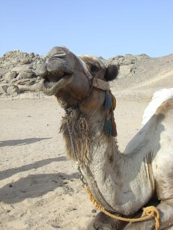 dromedary in egypt