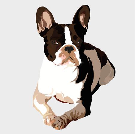 Frensh Bulldog lying