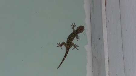 big green-red gecko