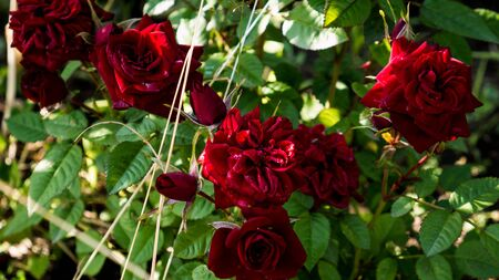 Bush of bright red roses on a background of green grass.
