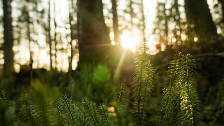 A bright ray of light wading through the deciduous and spruce green forest. Calm summer warm mood.