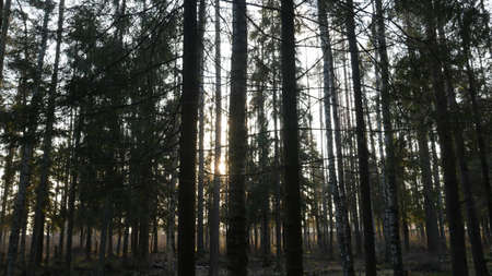 Natural forest of spruce and deciduous forest. Sun rays through the fog create a mystical atmosphere.