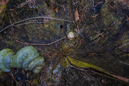 The texture of an old stump in the woods. overgrown with green ome. Needles from the Christmas tree on a black stump. Old felled tree, view from above close.