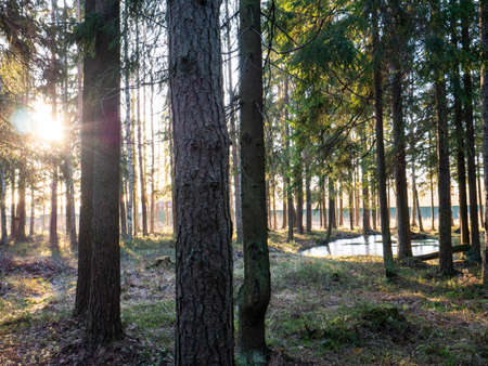 Beautiful green leafy and coniferous forest. Birch, spruce, hev. Early spring. Pleasant warm light. The sun rays illuminate the early morning.