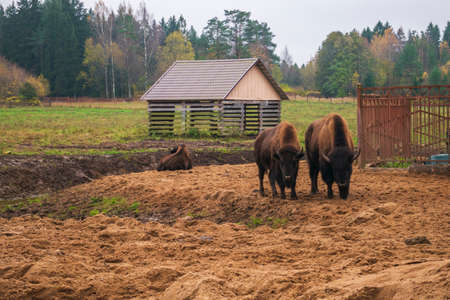A family of bison on a walk. family of herbivorous bison in their habitat. Stock Photo