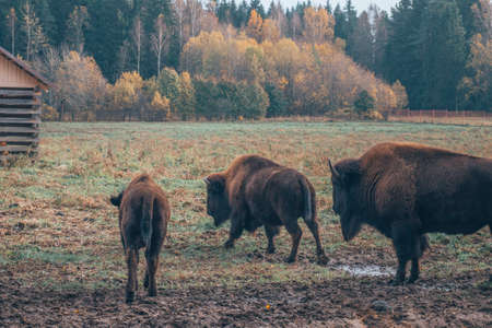 A family of bison on a walk. family of herbivorous bison in their habitat. Banque d'images