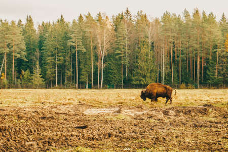 Bison in full growth in its habitat. Photo A large strong bison in the reserve.