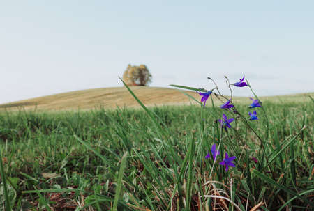 A large field and tall green grass. Purple flowers in the foreground, in the background small hills with a lonely tree. Stock fotó