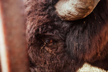 The eye of the bison is close. The eyes of a wild animal. Beautiful eye of herbivores. Stok Fotoğraf