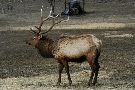 elk point:                                 A 12-point Roosevelt Elk Stock Photo