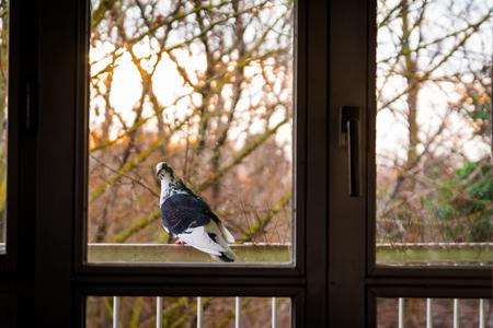 balcony window: Pigeon Looking Back Through Window Warm Day Sunrise Balcony Rail Stock Photo