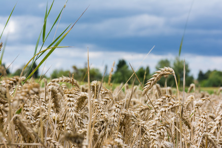 Wheat Grain Field Beige Landscape Nature Outdoors Farm Country Stock Photo