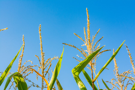 Corn Plant Top Macro Detail Sunny Blue Sky Contrast Stock Photo
