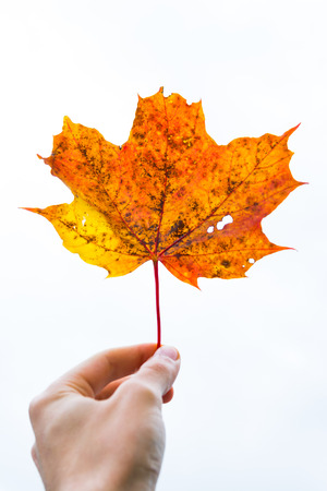 Hand Fingers Holding Delicate Stem Red Orange Yellow Dead Oak Leaf Autumn Fall Seasonal Plant Tree Dead Isolated White Background Stock Photo