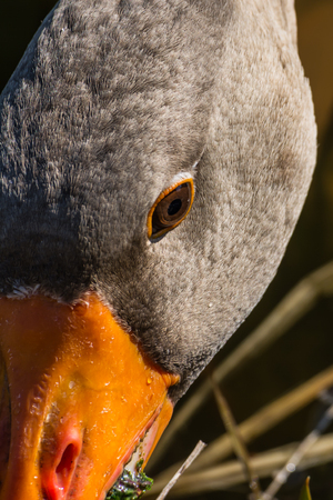 Bird Outdoors Wildlife River Lake Water Standing Looking Feathers Wings Closeup Detail Animals Goose Duck