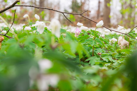 Small White Ground Covering Flowers Green Leaves Dense Macro Depth of Field Forest Stock Photo