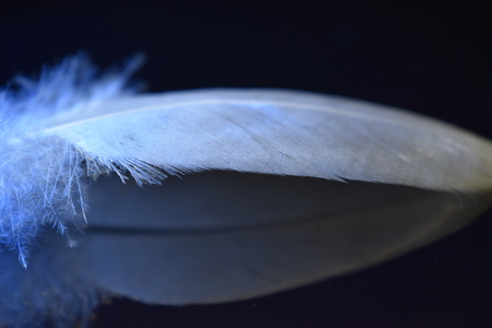 White Feather on Reflective Black Surface Lit by Bright Blue Light