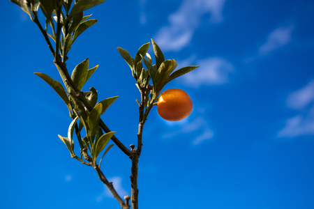 Single Orange Growing on Branch Isolated Against Bright Blue Sky Florida Weather