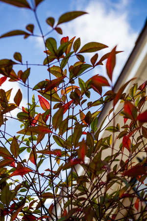 Red and Green Leaves Common Bush Inside Closeup Plant Outdoors Sunny Day Looking Toward Sky Stok Fotoğraf - 118584106