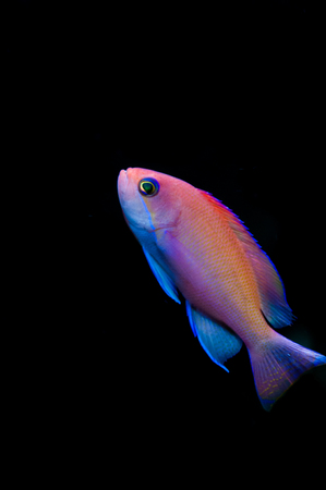 basslet: Female pink basslet swimming, isolated on black background
