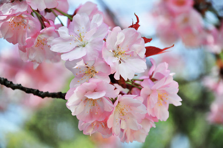 cheery: Cheery blossom in Hiroshima, Japan Stock Photo