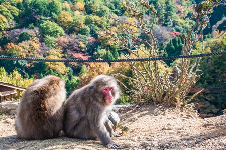 snuggling: Two Japanese macaque snuggling up to stay warm during autumn