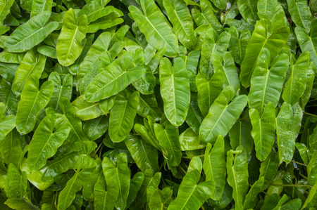 closedup: Closed-up shot of a green tropical leaves with waterdrop Stock Photo