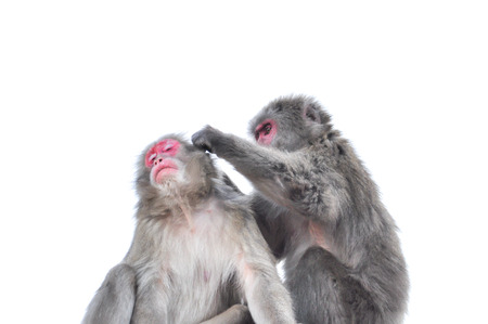 Japanese macaque tending each other, isolated on white background