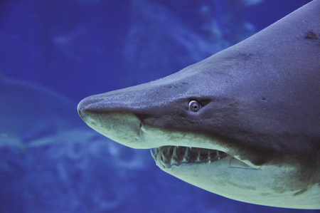 shark teeth: sand tiger shark Carcharias taurus underwater close up portrait - close up shot