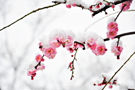 Pink Plum Flower under Snow with white background Foto de archivo