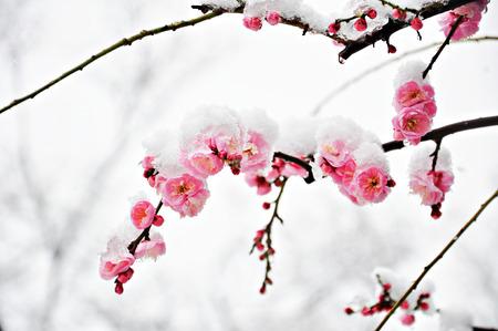 Pink Plum Flower under Snow with white background Stockfoto