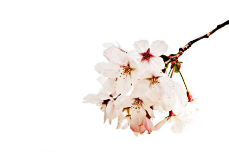 cheery: Cheery blossom isolated on white background
