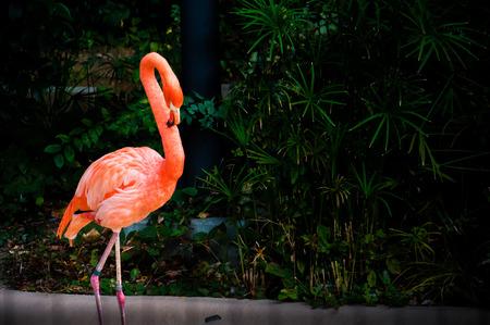zoo animal: Pink flamingo close-up with dark background