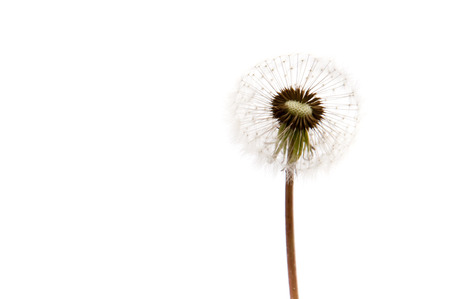 disperse: Dandelion isolated on white background Stock Photo