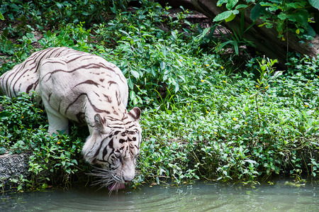 recessive: White tiger (albino) drinking water