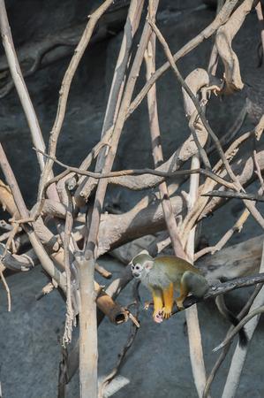 sciureus: Common squirrel monkeys (Saimiri sciureus) readying to jump Stock Photo