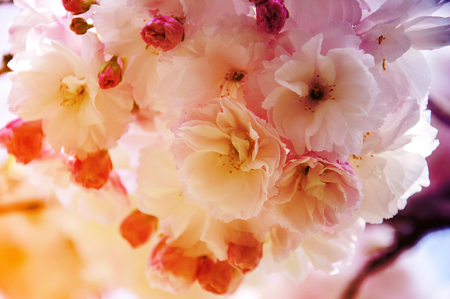 cheery: Cheery blossom with gradient color background in Kobe, Japan