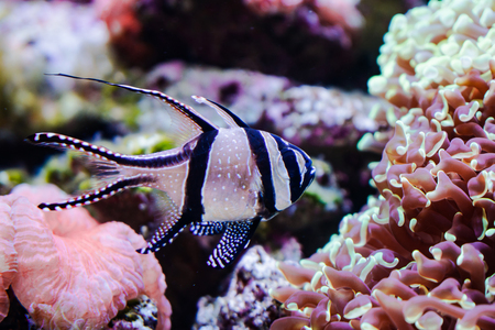 Banggai cardinalfish swimming among the coral reefs