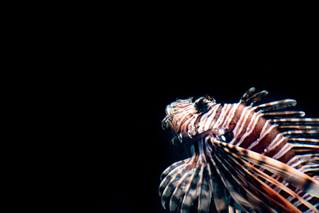 Lion fish emerging from the dark