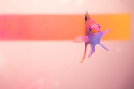 Close up shot of pink anthias fish 写真素材