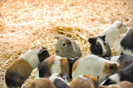 Group of guinea pigs feeding