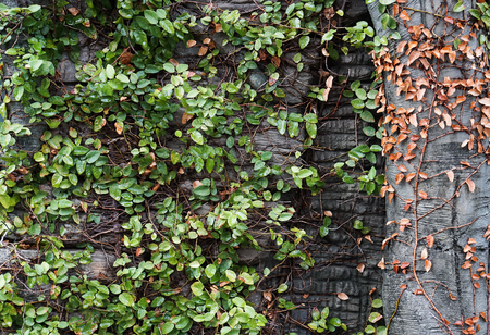 Green creeper plant on wall and tree